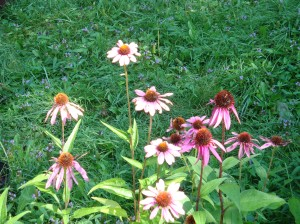 Echinacea - assorted