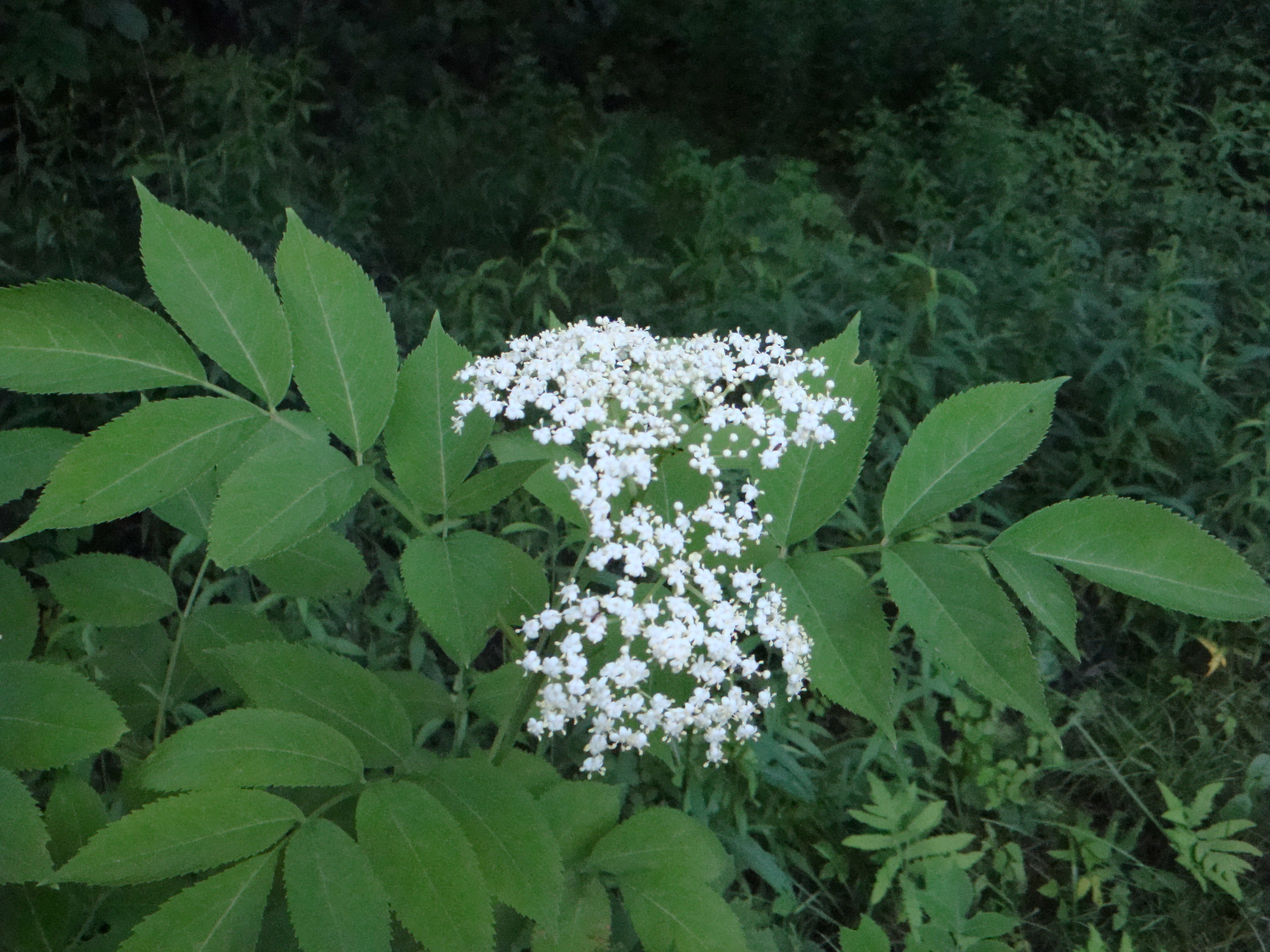 Great native plants elderberry for Plants and shrubs