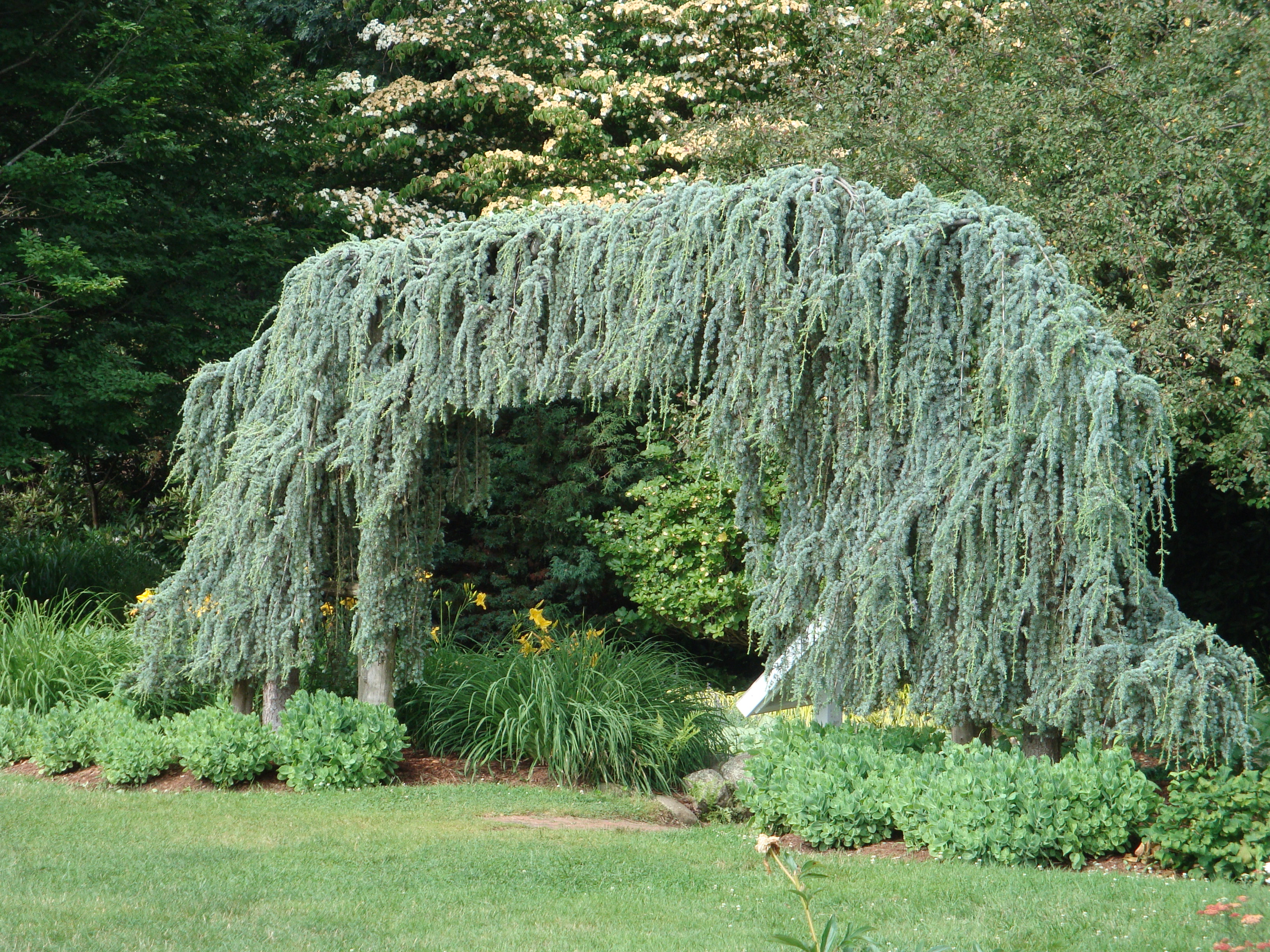 Displaying 20> Images For - Dwarf Weeping Trees For Landscaping...