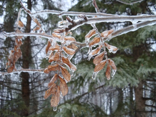 A hint of last season and and a coating of ice, on an American Mountain Ash (Sorbus americana).