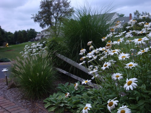 A fence section both frames and divides this planting, seemingly holding the Miscanthus at bay.