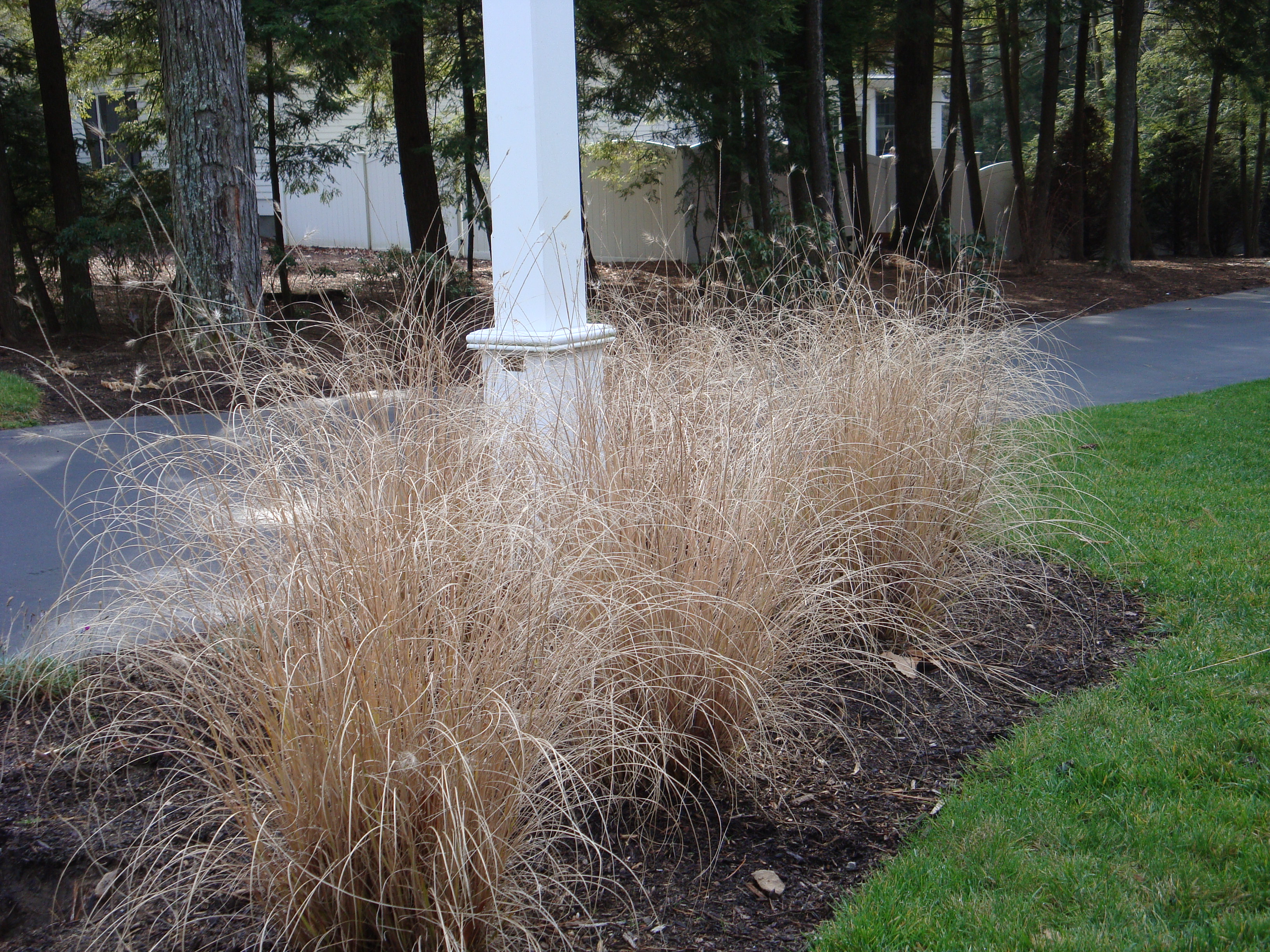 A favorite of mine, the beautiful straw foliage of this Hameln Dwarf Fountain Grass will stand all winter until the new growth of next season begins to sprout completing its cycle of transition.