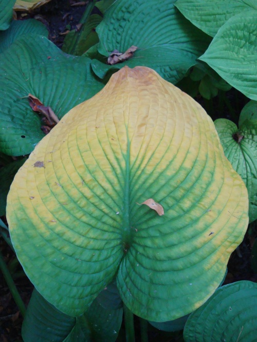 A Hosta leaf also marks the passage of time.