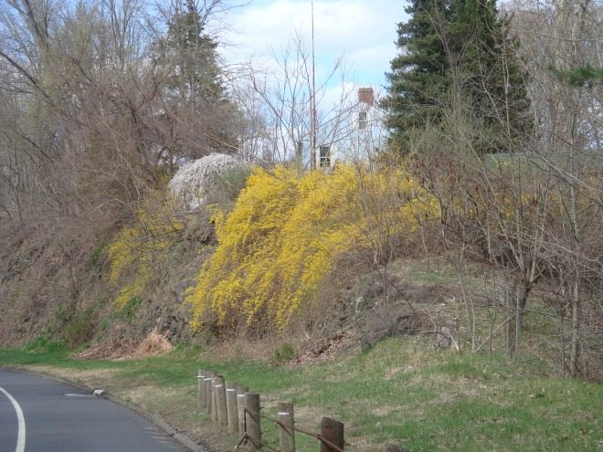 A rogue wave of Forsythia crashes over the rocks toward oncoming traffic!