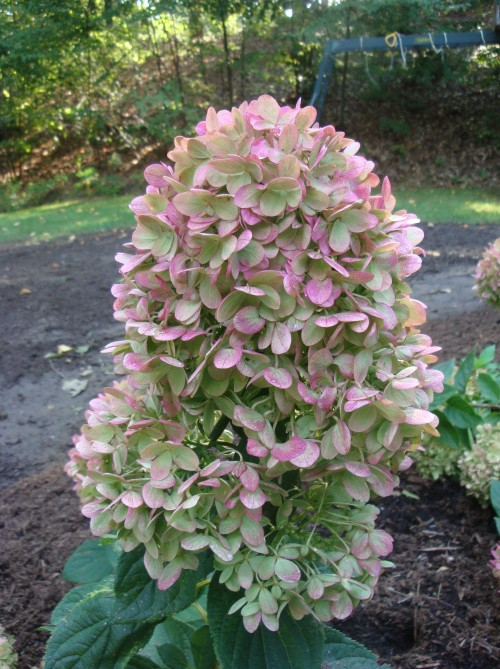 As the blossom of this Little Lime hydrangea transtions from lime-green to white to pink, we mark the seasons in the garden.