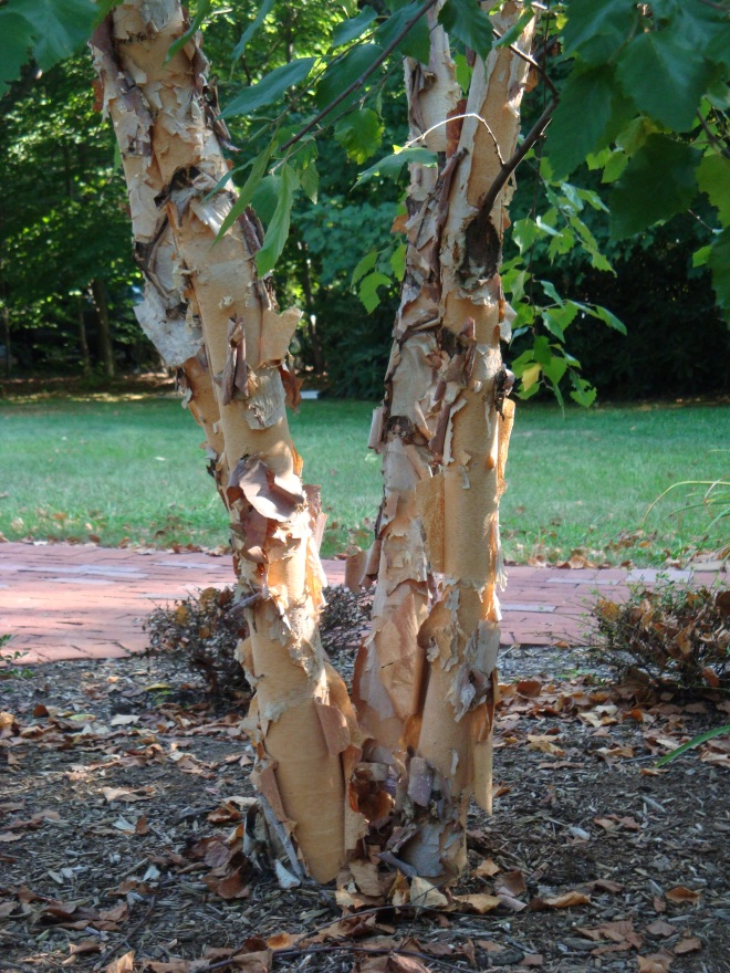 Exfoliating bark on the Heritage River Birch provides year round interest.
