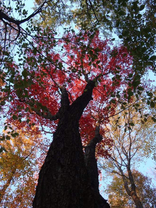 The high canopy of this Red Maple creates an amazing sense of scale, especially in the fall!