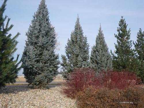 Columnar Blue Spruce picture from Fossil Creek Nursery