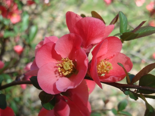 Blue Heron Landscape Design, Flowering Quince