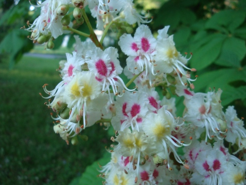 Horse Chestnut (Aesculus hippocastanum) in bloom.