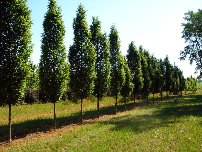 Fastigiate Hornbeam Picture from Sugar Hill Nurseries