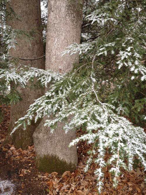 The snow frosted branches of this Hemlock create a pleasing vignette with this White Oak.