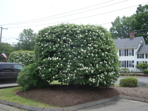 Cornus kousa 'Water Tower' (?)