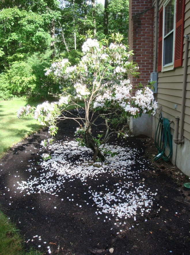 A dusting of Mountain Laurel (Kalmia latifolia) petals