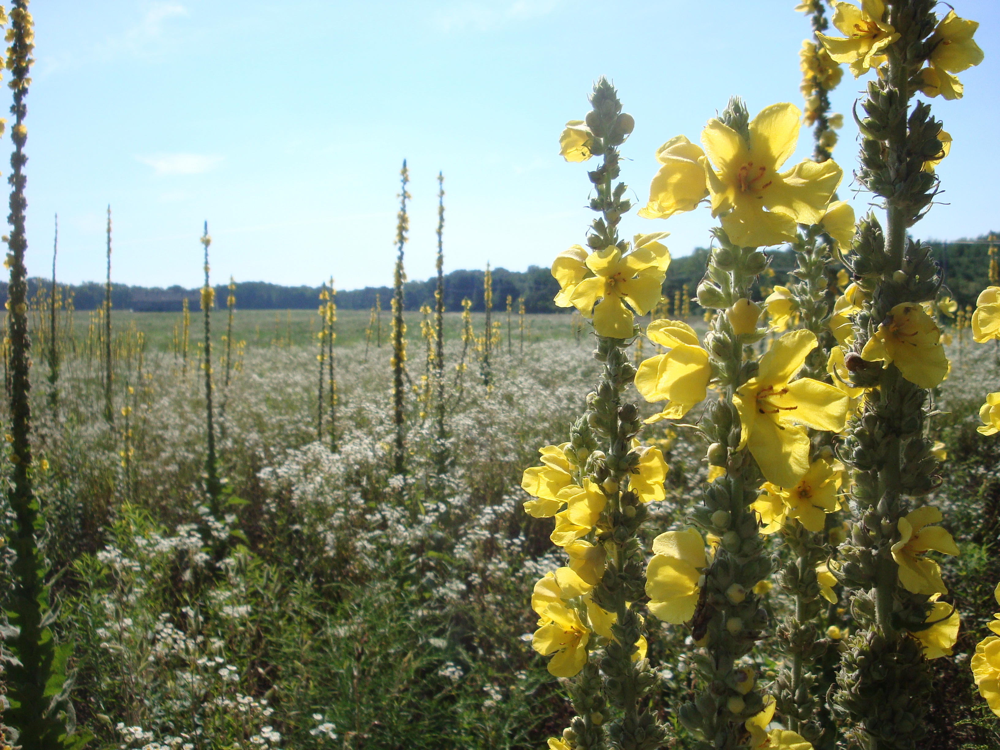 Spikes of Mullein (Verbascum thapsus) punctuate this fallow tobacco field in Simsbury, CT.