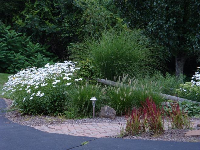 Miscanthus sinensis 'Gracillimus', Pennisetum alopecuroides 'Hameln', Leucanthemum x superbum 'Becky', and Imperata cylindrica