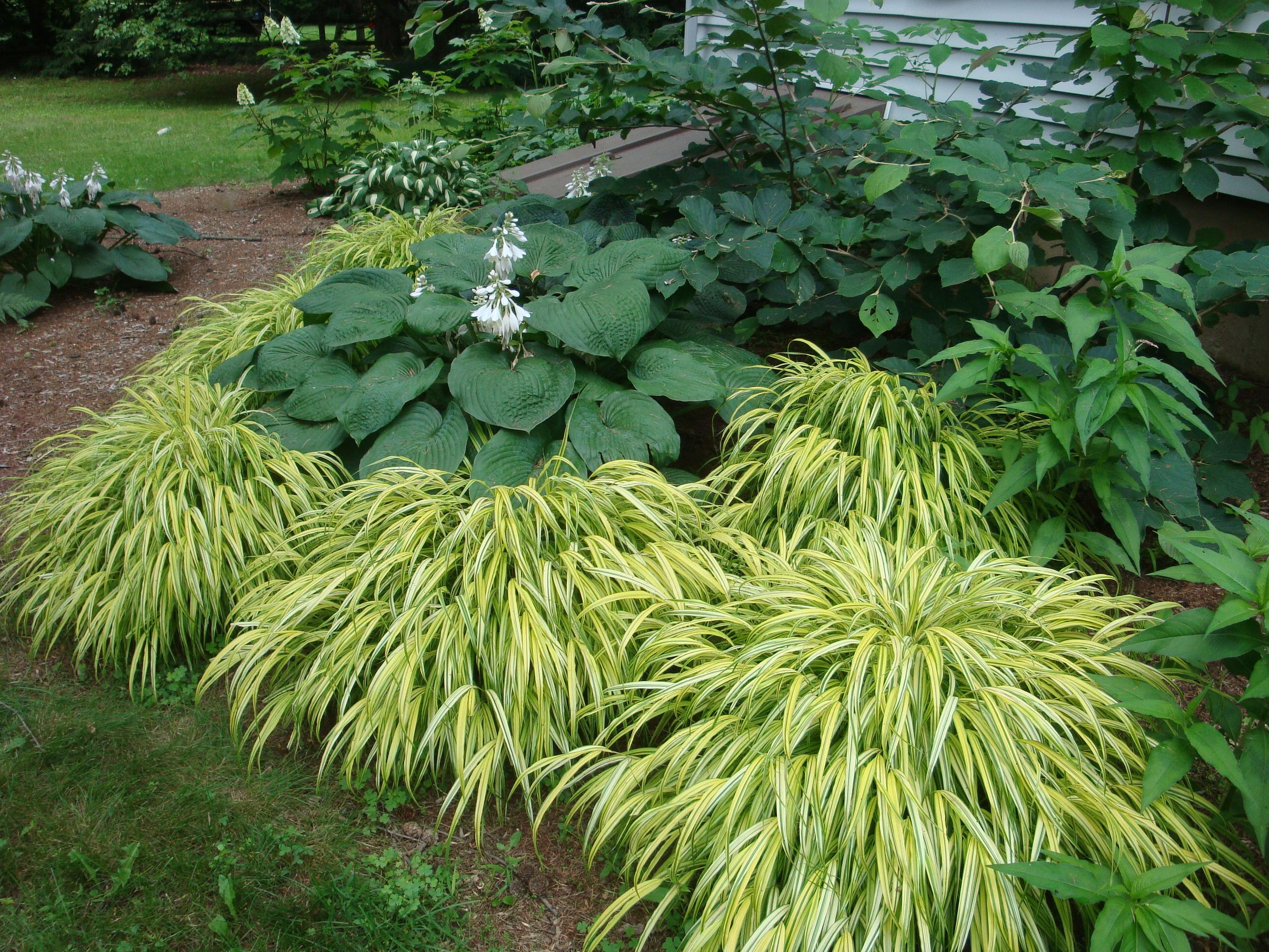 Miscanthus sinensis gracillimus for Ornamental grass design ideas
