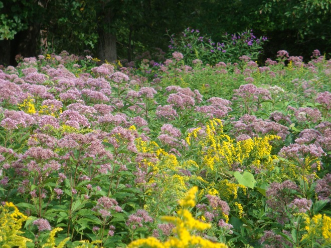 Joe Pye Weed and Golden Rod