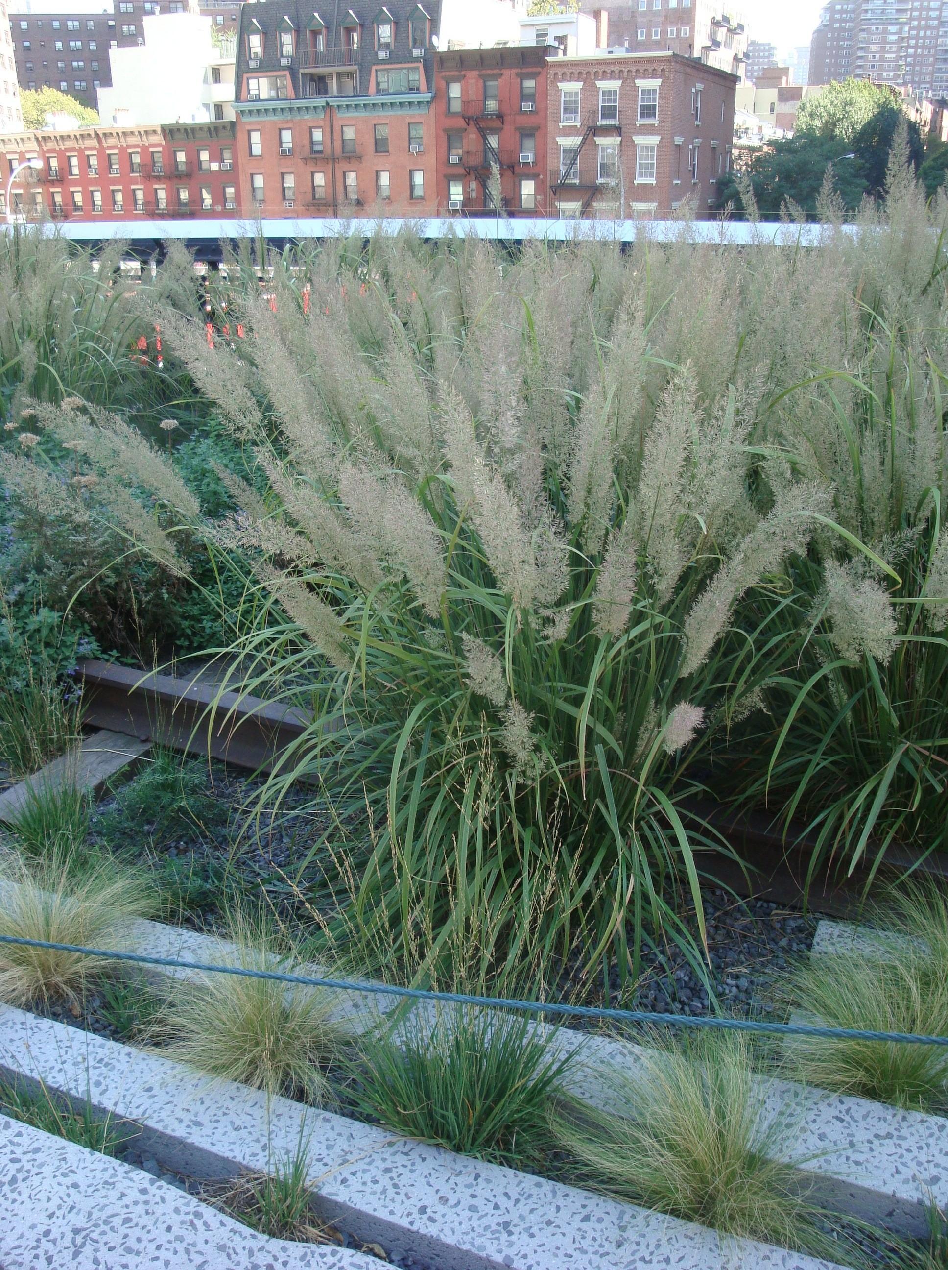 Foxtail Grass  Calamagrostis  Calamagrostis Brachytricha