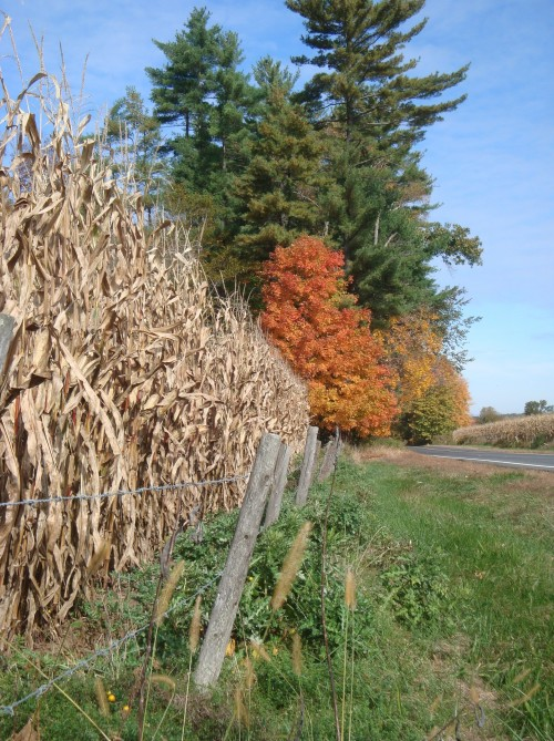 Looking like an exclamation point on this fence line, a Sugar Maple (Acer saccharum) stands in all it's fall glory!