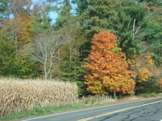 Corn stalks and Sugar Maples (Acer saccharum), Autumn in New England!