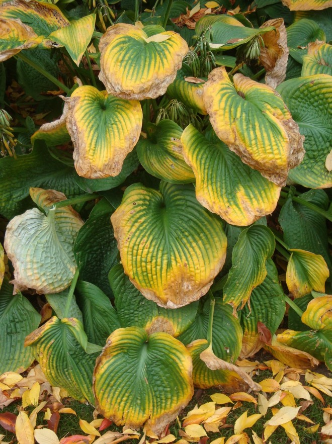 Hosta can also add seasonal interest!