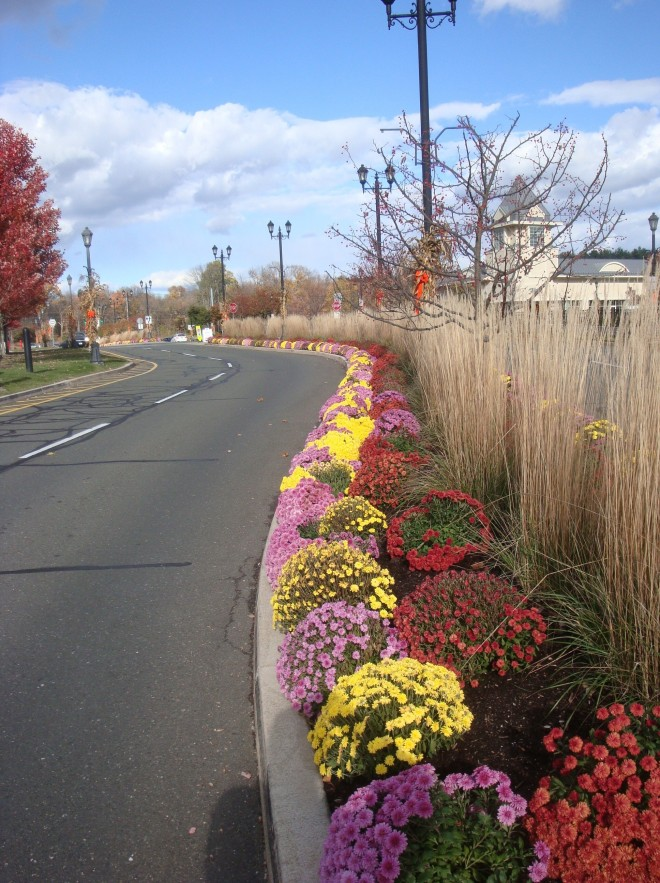 Karl Foerster Reed Grass (Calamagrostis x acutiflora 'Karl Foerster') and Chrysanthemum greet shoppers at The Shoppes at Farmington Valley in Autumn!