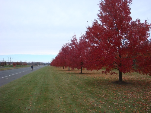 Red Maples provide a colorful perspective at the Pepperidge Farm facilty in Bloomfield, CT.