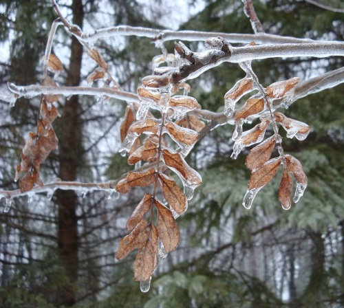 Ice encapsulates last year's foliage on an American Mountain Ash (Sorbus americana)