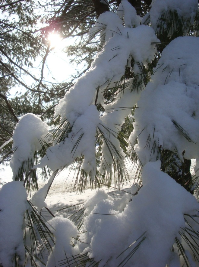 Snow cover White Pine (Pinus strobus) back lit by a Febraury sunrise!