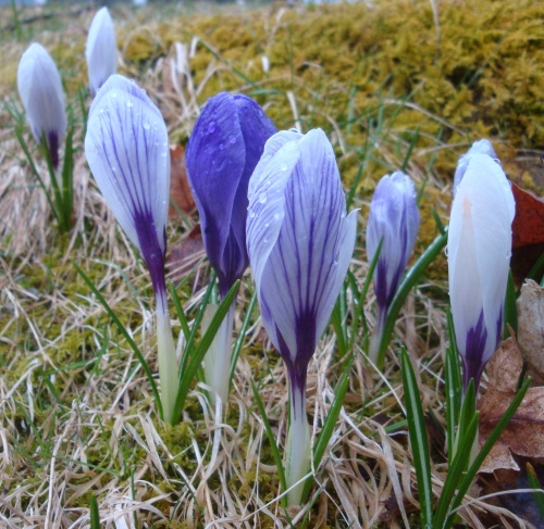 Crocus emerge in early spring!