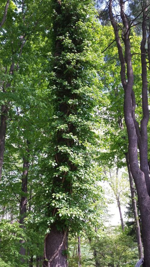 Climbing Hydrangea (Hydrangea anomala subsp. petiolaris) climbs the trunk of a tall pine tree at O'Brien's Nursery in Granby CT.