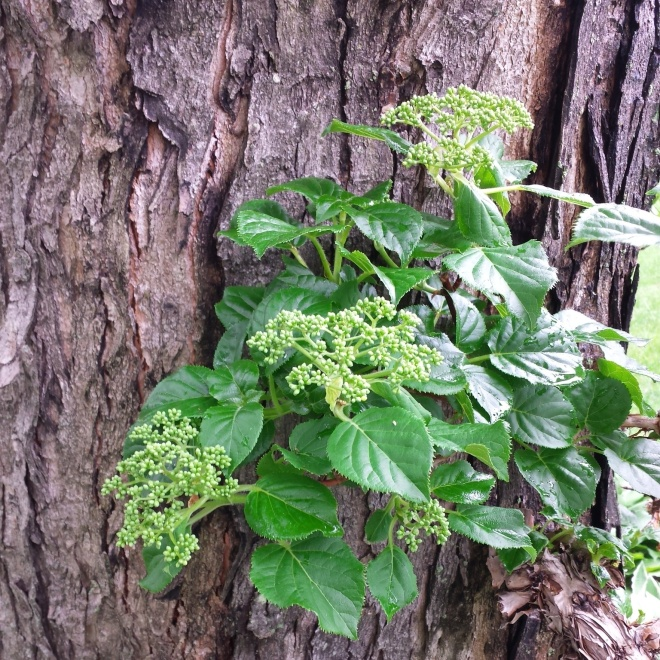 Climbing Hydrangea (Hydrangea anomala subsp. petiolaris) in bud, beginning it's climb up a Silver Maple.