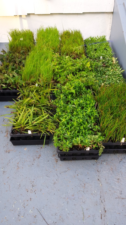 Carex vulpinoidea, Carex bicknellii, Aster 'Purple Dome', Echinacea p. 'Magnus', Lobelia cardinalis, Monarda fistulosa, Amsonia 'Blue Ice', & Liatris spicata.