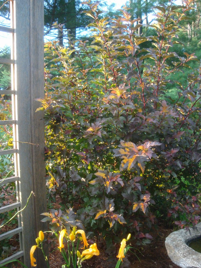 Summer Wine® Ninebark backlit by an August sunset!