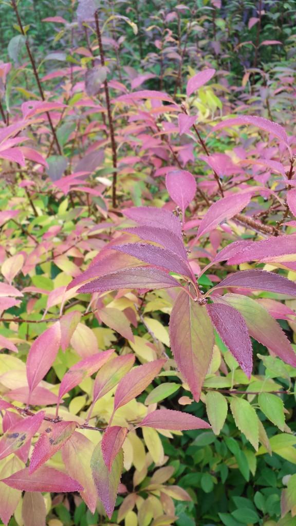 Fall color of Border Forsythia (Forsythia x intermedia)