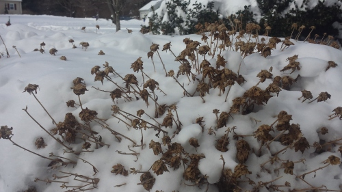 Last fall's chrysanthemums poking through the snow!